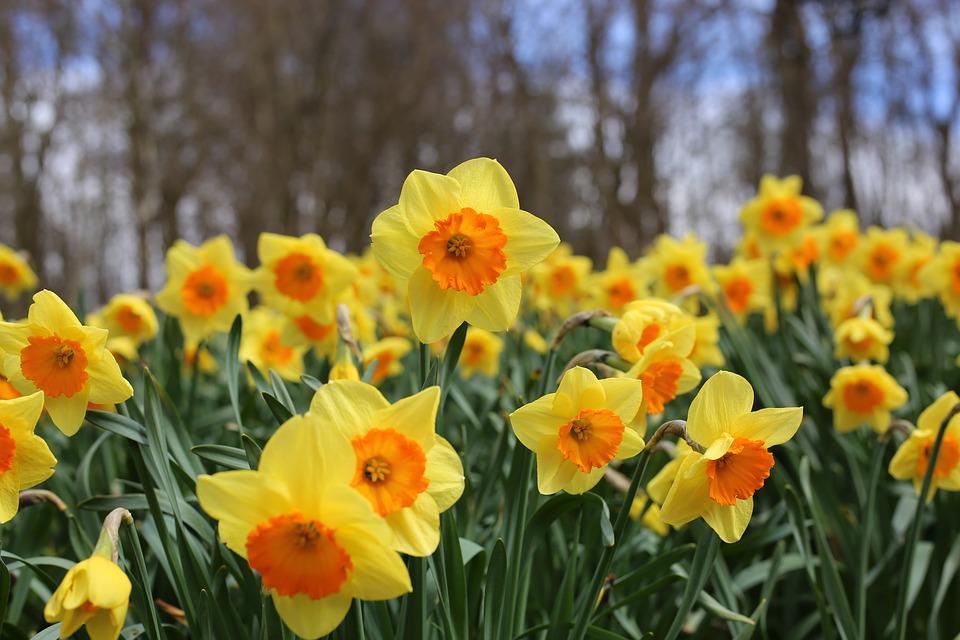 St David's Day Daffodils